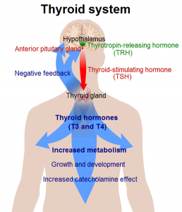 Thyroid_system